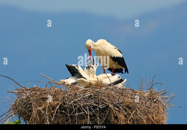 white stork (Ciconia ciconia), adult bird feeding young birds in the nest, Greece, Lake Kerkini - Stock Image