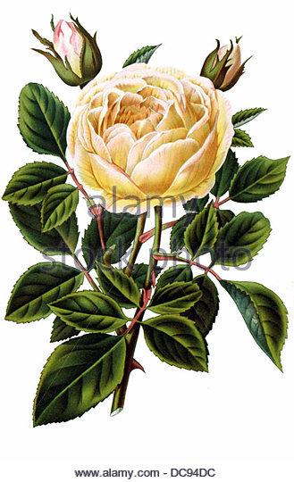 Tea rose jaune d `or - Stock-Bilder
