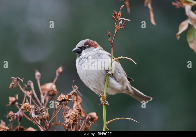 Male sparrow, Passer domesticus. - Stock Image