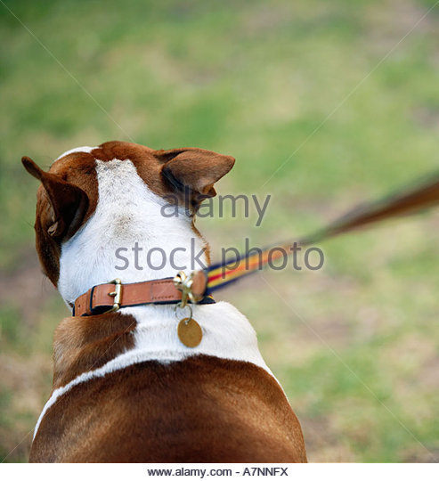Dog and lead close up rear view differential focus - Stock Image