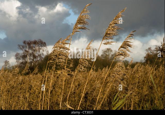 Phragmites australis, Reeds, Sedge - Stock Image