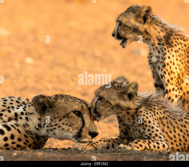 Cheetah adult female and cubs grooming (Acinonyx jubatus) Malilangwe Wildlife Reserve Zimbabwe Africa - Stock Image
