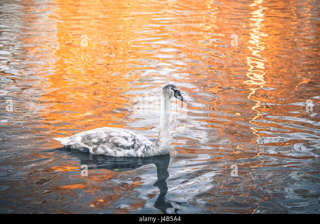 Swan cygnet changing feathers from grey to white and swimming in a lake on a nearly morning in the sunrise - Stock Image