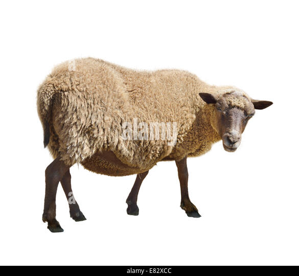 Sheep Isolated On White Background - Stock Image