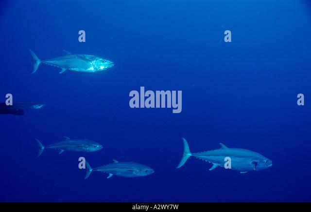 Dogtooth tuna Gymnosarda unicolor Egypt Africa Sinai Sharm el Sheik Red Sea - Stock Image