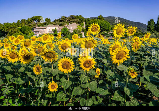 sunflowers, Lourmarine, Vaucluse, Provence, Luberon Regional park,  Plus Beaux villages, Provence-Alpes-Cote d Azur, - Stock Image