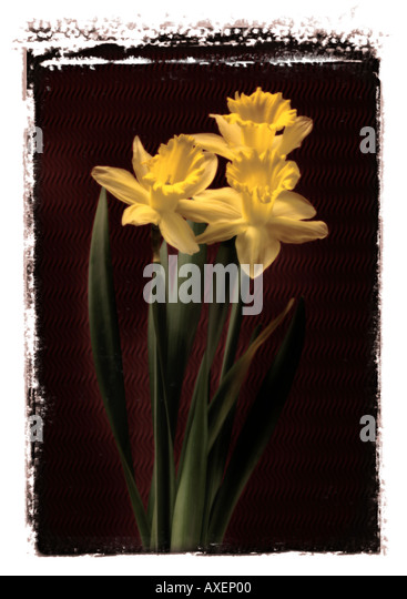 Daffodils Against Black Background - Stock Image
