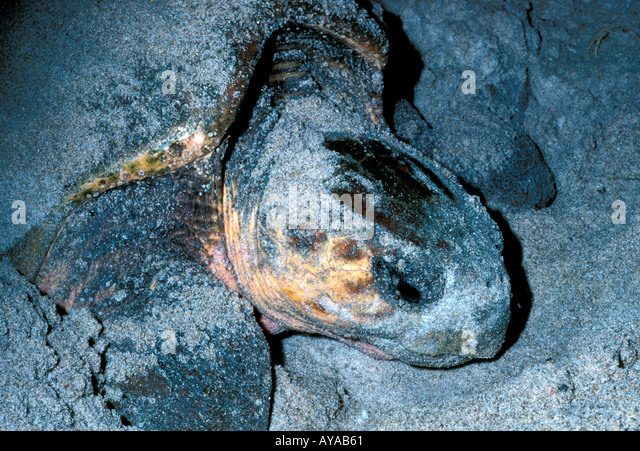 Loggerhead sea turtle nesting on beach at night - Stock Image