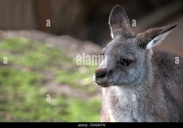 A close-up of a kangaroo showing the head and shoulders. - Stock Image