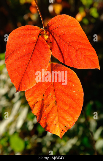 Vibrantly Colored Autumn Leaves Fall Foliage - Stock Image