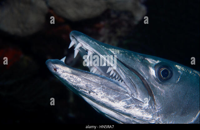 Close of the face and teeth of a Great Barracuda. - Stock-Bilder