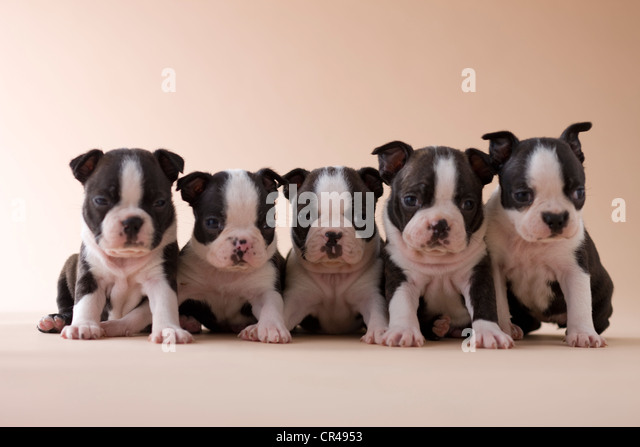 Five Boston Terrier Puppies - Stock Image