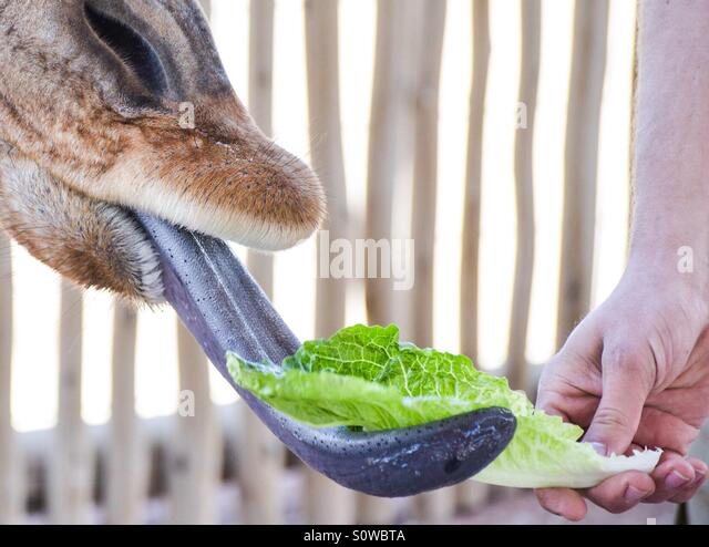 Feeding the giraffe - Stock Image