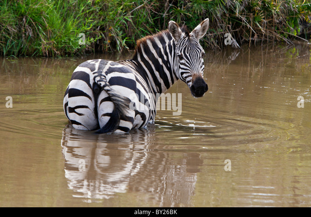 A common zebra wades into a muddy stream to drink in Masai-Mara National Reserve. - Stock Image