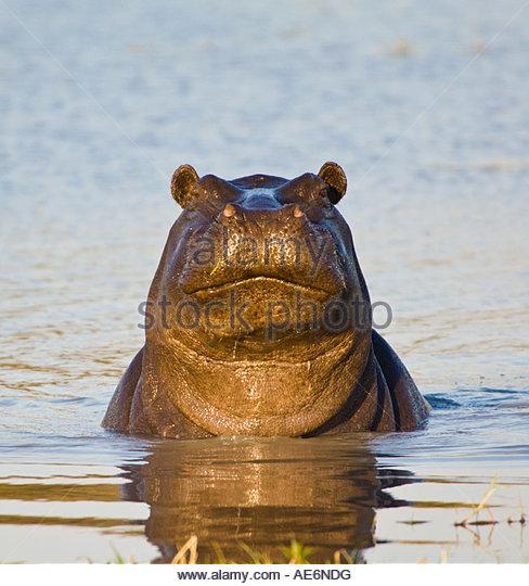 Confident Hippo Staring at the Camera. Kwai River, Botswana - Stock-Bilder