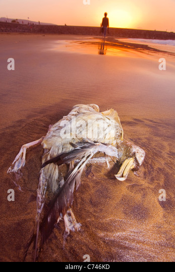 Dead Bulwer's petrel on the beach in Gran Canaria. - Stock Image