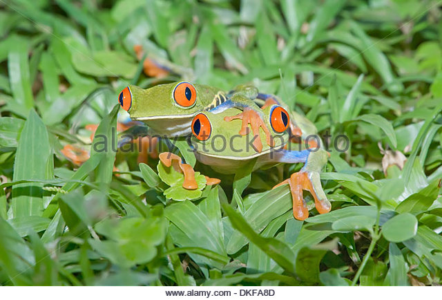 Red-eyed tree frogs (Agalychnis callidryas) on plants, Costa Rica - Stock Image
