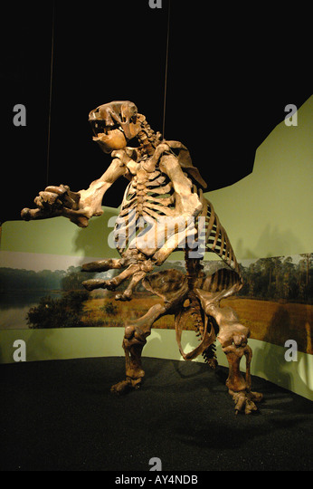 Giant Ground Sloth fossil fierce huge mammal North America Museum of Arts and Sciences.  Daytona Florida - Stock Image