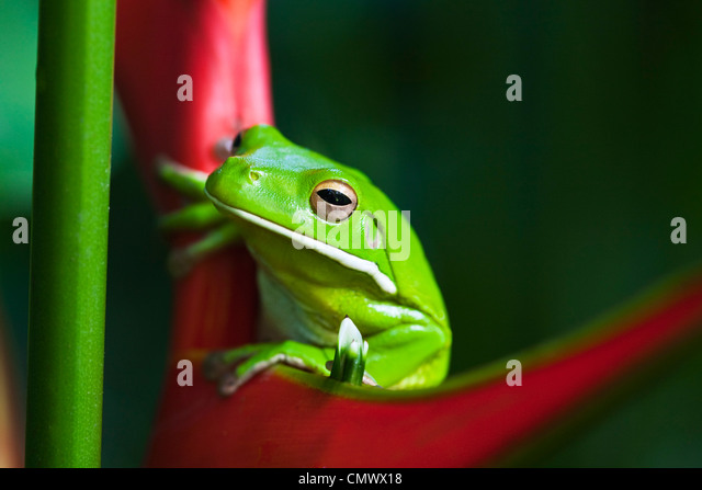 White-lipped tree frog (Litoria infrafrenata) sitting on a heliconia flower. Cairns, Queensland, Australia - Stock Image