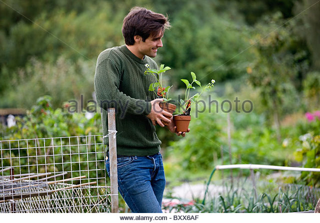 A young man on an allotment, holding strawberry plants - Stock Image