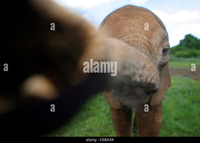 ORPHAN ELEPHANT REACHES TO CAMERA - Stock Image
