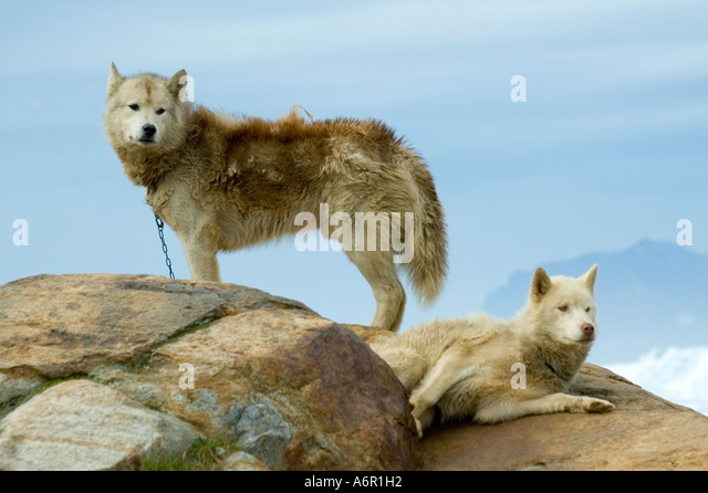 Greenland Dogs or Husky, at the Inuit village of Tiniteqilâq, Sermilik Fjord, East Greenland - Stock Image