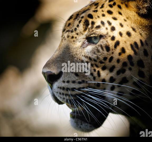 portrait of a leopard with dramatic illumination in the eye. - Stock Image