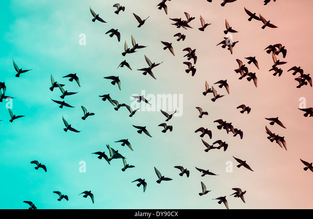 Flock of doves (Columbidae) flying in front of sky, view from below - Stock Image