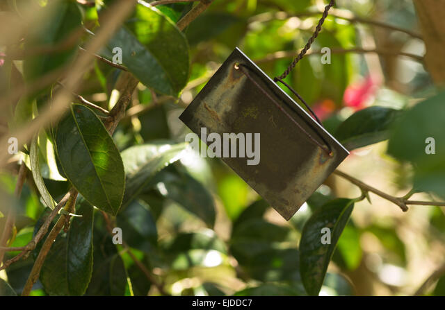 weathered old metal plant label from zinc with patina hanging from rusting ire steel wire on branch for  shrub camellia - Stock Image