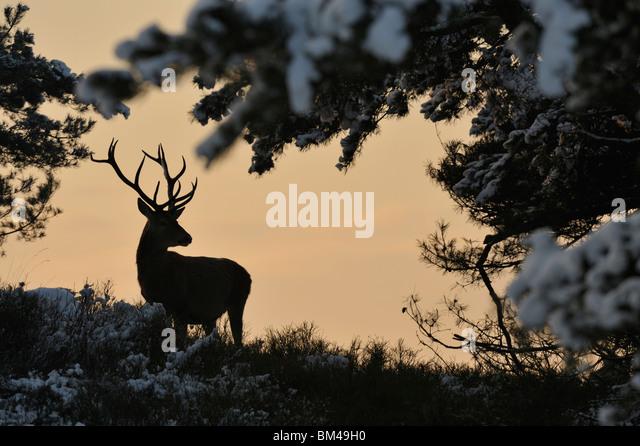 Red Deer (Cervus elaphus). Male being alert in snow covered heathland. - Stock-Bilder