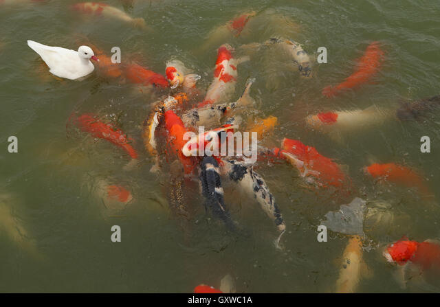 Japanese koi fish stock photos japanese koi fish stock for Koi swimming