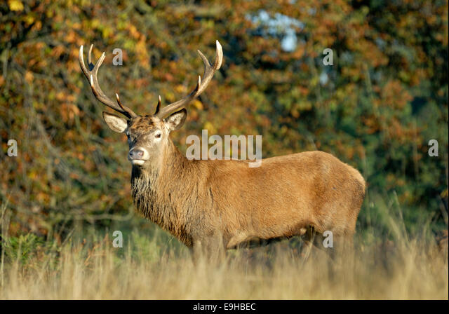 Red deer stag, Richmond Park, London - Stock Image