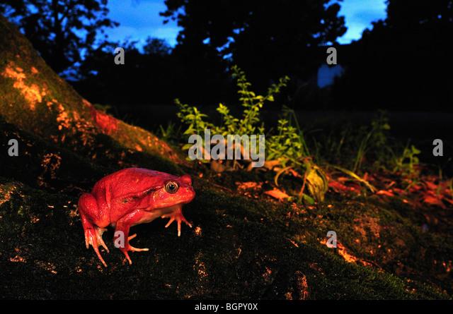 Tomato Frog (Dyscophus antongilii),adult, Maroantsetra, Northeastern Madagascar - Stock-Bilder