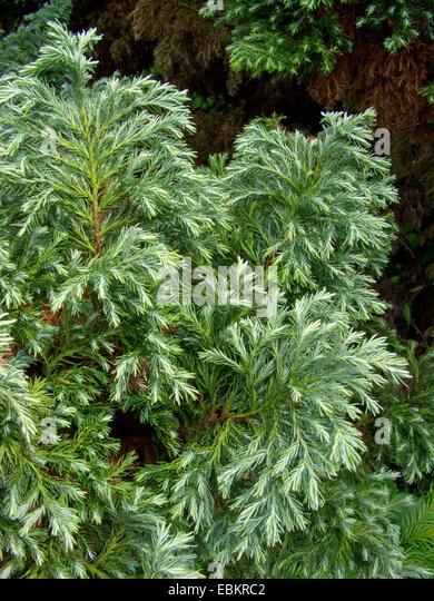 sawara falsecypress (Chamaecyparis pisifera 'Squarrosa', Chamaecyparis pisifera Squarrosa), cultivar group - Stock Image