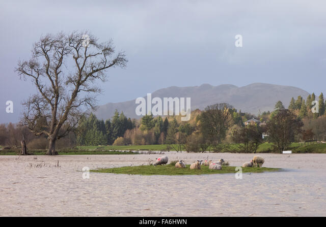 Drymen, Scotland, UK - 22 December 2015: UK weather.  Sheep stranded on an island surrounded by flooded fields in - Stock Image