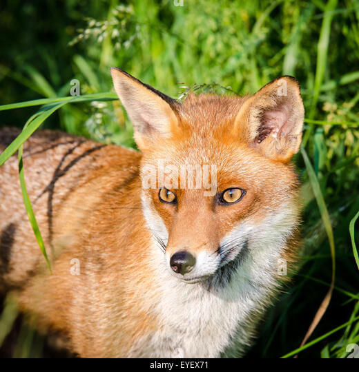 European Fox (Vulpes vulpes), UK. - Stock Image