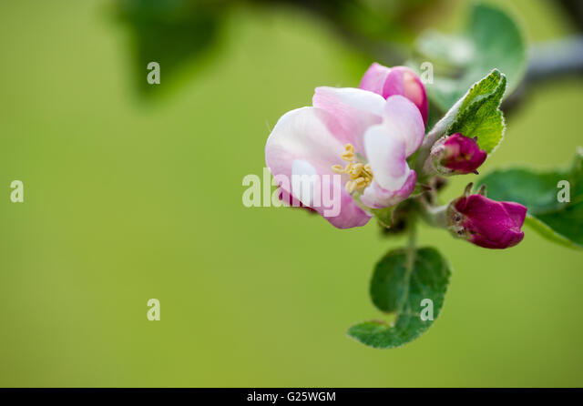Apple blossom close up background - Stock Image
