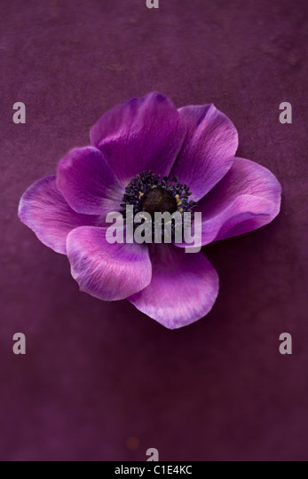 purple peony flower - Stock Image