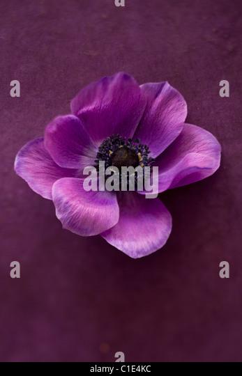 purple peony flower - Stock Image