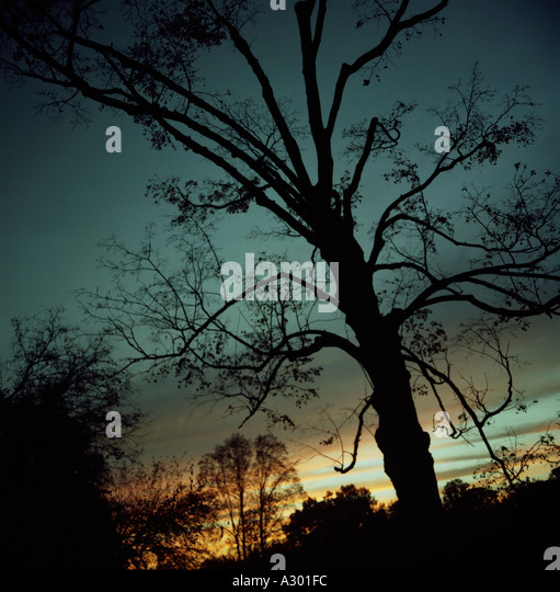 Tree at dusk copyright Nina Buesing - Stock Image