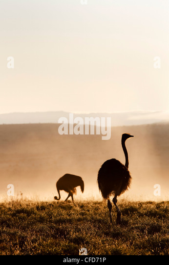 Ostrich (Struthio camelus), in morning mist, Mountain Zebra National Park, Eastern Cape, South Africa, Africa - Stock Image