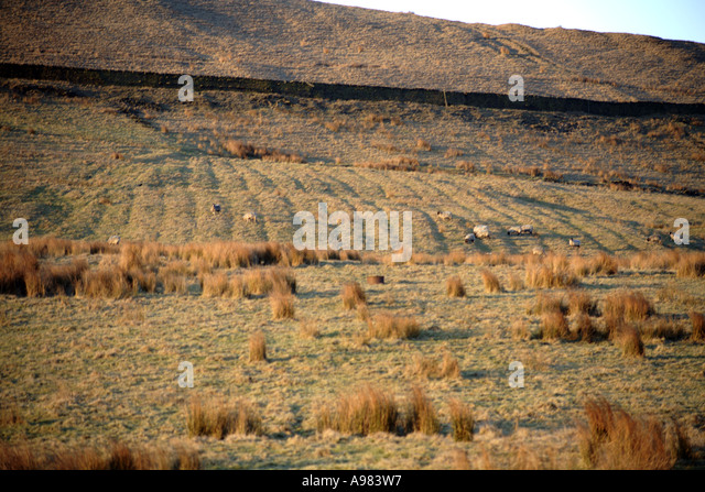 Signs of ridge and furrow in a field at Cheesden Pasture  near Heywood Lancashire UK - Stock Image