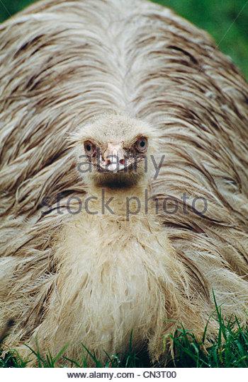 Emu, Australia - Stock Image