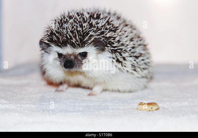 Chespin the hedgehog - Stock Image