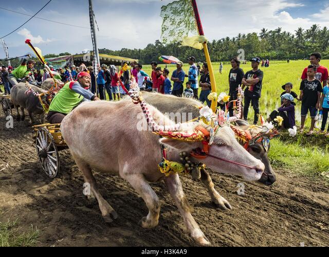 Jembrana, Bali, Indonesia. 9th Oct, 2016. The finish line of a makepung (buffalo race) in Tuwed, Jembrana, Bali. - Stock Image