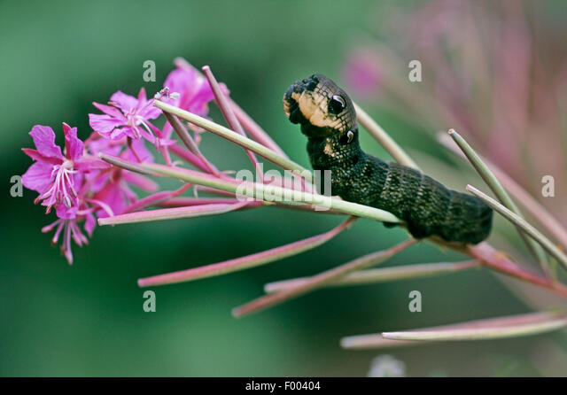 elephant hawkmoth (Deilephila elpenor), caterpillar on willowherb, Germany - Stock-Bilder