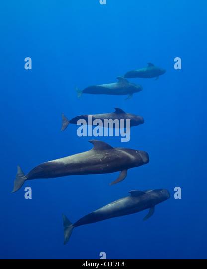 Short-finned pilot whales, open ocean - Stock-Bilder