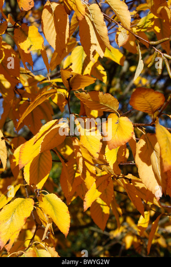 birchleaf latin singles The word pear is probably from germanic pera as a loanword of vulgar latin pira,  uncovered in a single layer,.