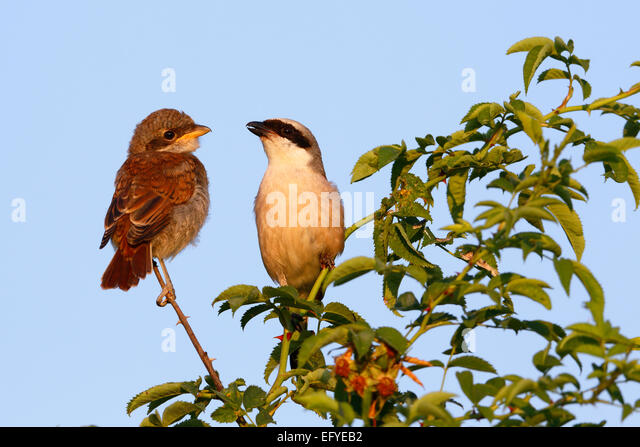 Red-backed Shrike (Lanius collurio), male with young bird on perch, Middle Elbe Biosphere Reserve, Saxony-Anhalt, - Stock Image