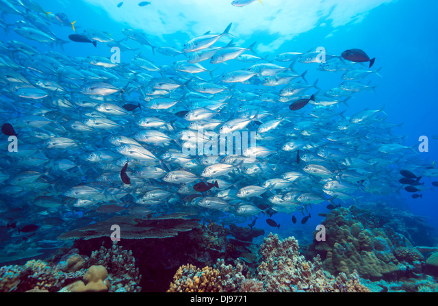 School of Jackfish over a Coral Reef, Ulong Channel, Rock Islands Nationalpark, Micronesia, Palau - Stock Image